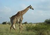 Puzzle Girafe en Afrique du sud