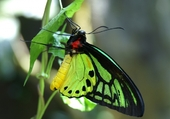 Puzzle Puzzle butterfly vert