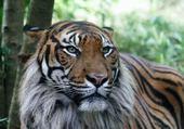Puzzle Jeux de puzzle : Joli tigre
