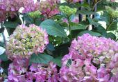 fleurs hortensias