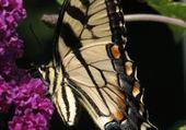 Jeux de puzzle : papillons