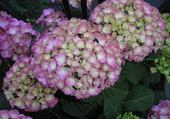 Puzzle fleurs hortensias