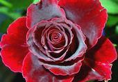 Puzzle gratuit fleur rose