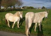 Puzzle en ligne chevaux en bretagne