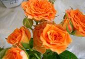 roses oranges