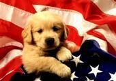 Puzzle chien patriote