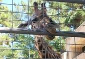 Jeu puzzle girafe