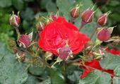Puzzle belle rose