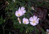 Puzzle églantine rose