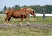 Puzzle cheval dans un champ