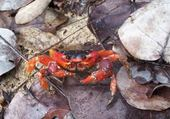 Puzzles crabe rouge