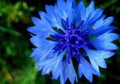 Puzzle bleuet