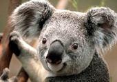 Puzzles koala