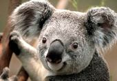 Puzzle Puzzle koala mimi