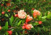Puzzles fleur de grenadier