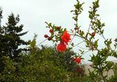 Puzzle fleur de grenadier