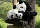 Puzzles pandas
