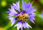 Puzzle gratuit bleuet et abeille