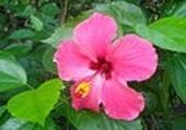 Puzzle gratuit la fleur tahitienne