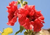 Puzzle Puzzle rose tremiere
