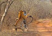 Puzzle deux tigres royaux du Bengal