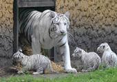 Puzzle en ligne  bébés tigres blanc
