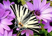 Puzzle gratuit papillon fleur