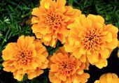 fleurs de hongrie