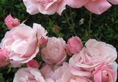 Puzzle roses jardin