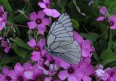 Puzzle fleurs et papillon