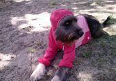 Puzzle chienne avec un pull