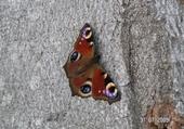 Taquin papillon