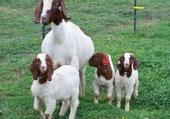 Puzzle Puzzle mes belles chèvres