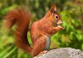 Puzzle gratuit ecureuil
