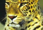 Taquin leopard