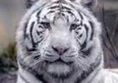 Puzzle puzzle d'un tigre blanc