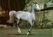 Puzzle Cheval arabe au galop