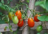 Jeux de puzzle : les tomates