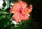 Puzzle Ibiscus à fleurs doubles