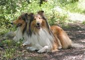 Taquin lassie