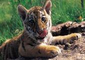Puzzle bebe tigre