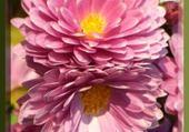 Puzzle en ligne chrysanthème douce france