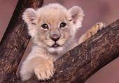 Puzzle Puzzle lioncot