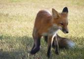 Taquin renard