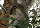 Puzzle un koala dan l'arbre