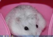 Puzzle en ligne Hamster