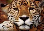 Puzzle Jaguar