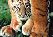Puzzle Puzzle gratuit baby tiger