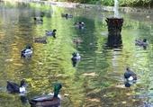Puzzles les canards
