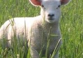 Jeux de puzzle : agneau